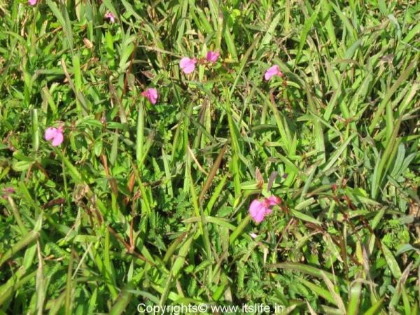 Wild Rosemary Leaved Balsam