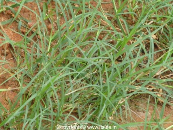 Durva Grass Bermuda Grass Durva Patra Garke Hullu
