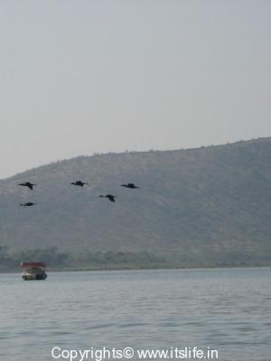 little-cormorant
