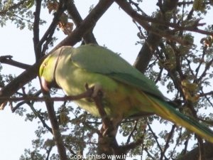 parrots-1