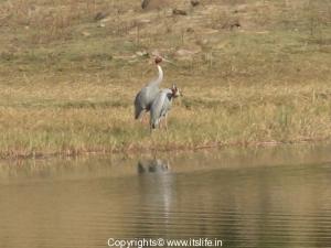 sarus-crane-1