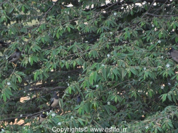 Jungle Myna-Rosy Starling-Common Myna