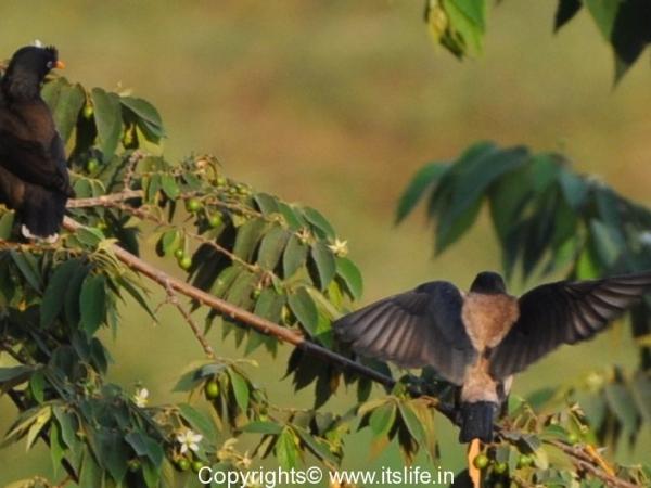 Jungle Myna-Rosy Starling