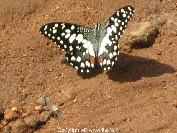 butterfly-mysore2.jpg