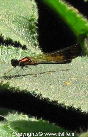 damsel-fly-irappu