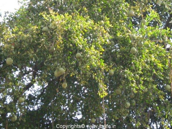 Bilva tree