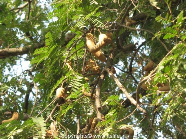 Tamarind Tree | itslife.in