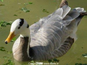 Bar Headed Geese - Mysore Zoo