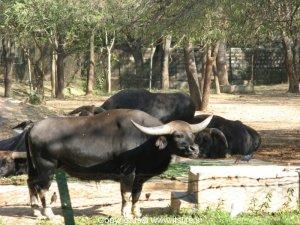 Wild Bison - Mysore Zoo