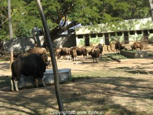 Gaur - Mysore Zoo