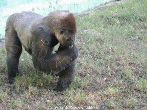 Gorilla - Mysore Zoo