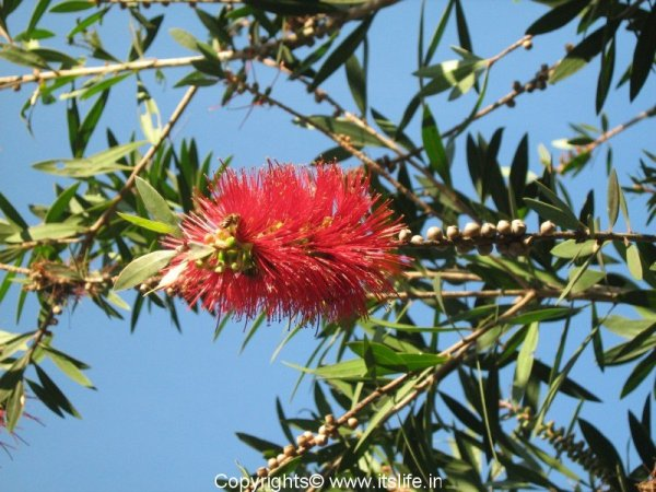 Bottle Brush Plant