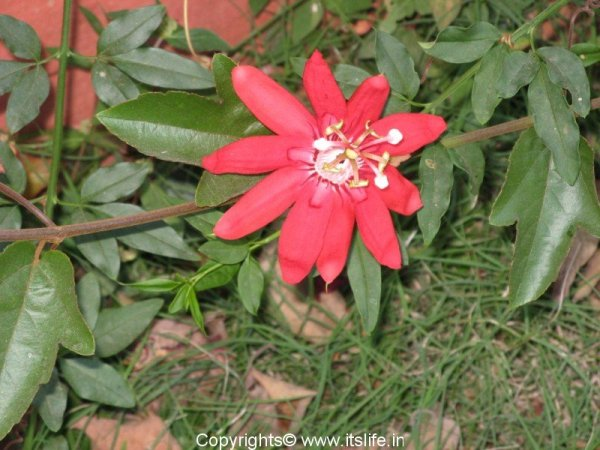 Red passion flower creeper gardening passiflora coccinea for Gardening is my passion
