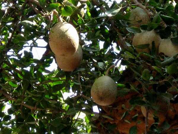 Bilva Fruit