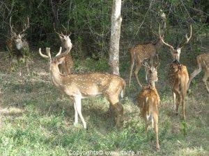 Deer - Bhadra