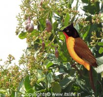 ruby-throated-yellow-bulbul