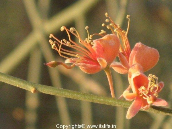 Ker Flower