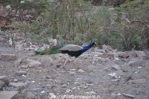 peacock
