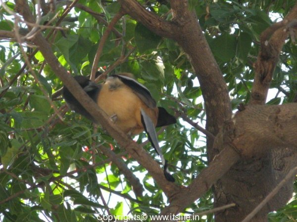 rafous-indian-treepie-1
