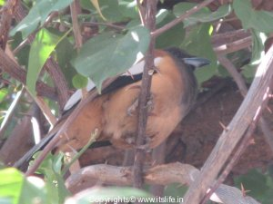 rafous-indian-treepie-2