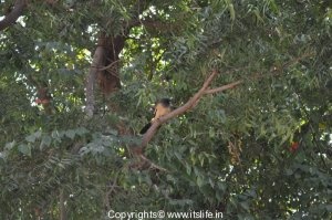 rafous-indian-treepie