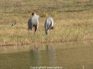 sarus-crane