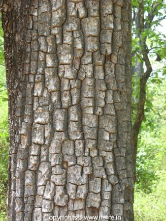 Crocodile Bark Tree