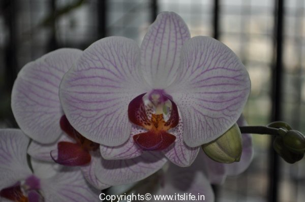 gardening-orchids-phal-1