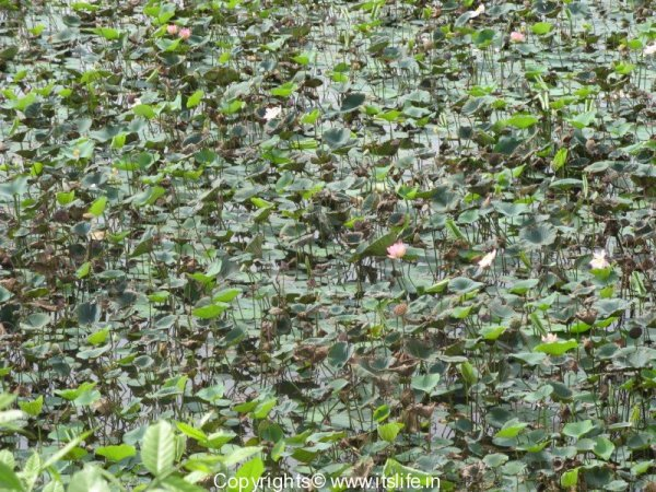 garden-lotus-1