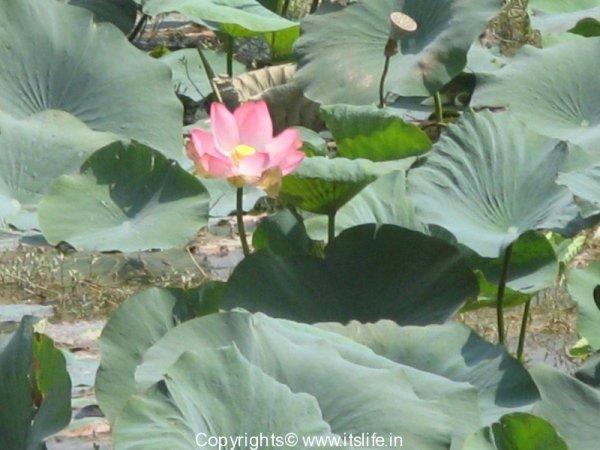 garden-lotus