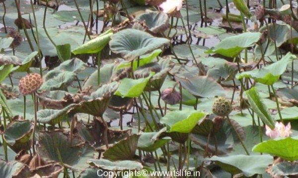 garden-lotus-seeds