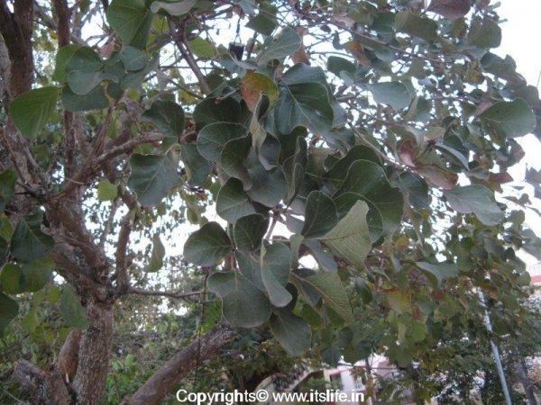 gardening-trees-palash-6