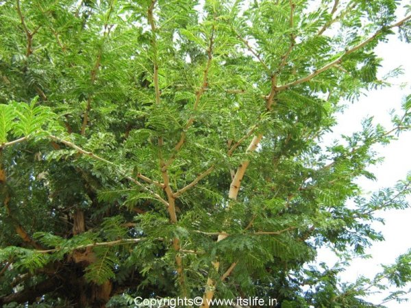 Banni tree auspicious during dasara festival What is the meaning of tree