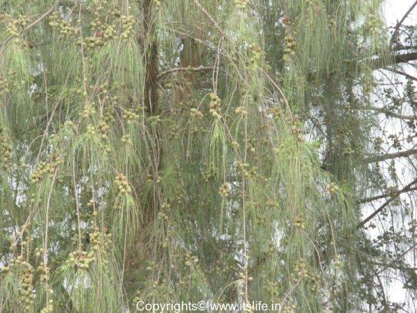 Devadar Tree