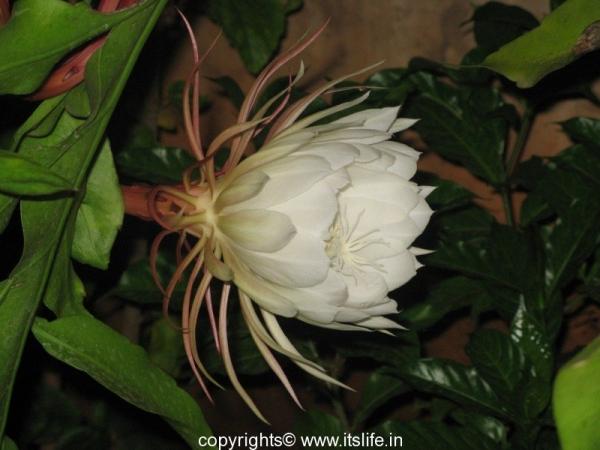 Bethlehem Lily - Nishagandhi