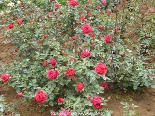 red-rose-valentine