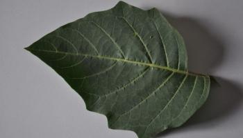 Datura Leaf