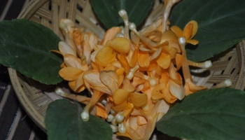 festivals-golden-spatika