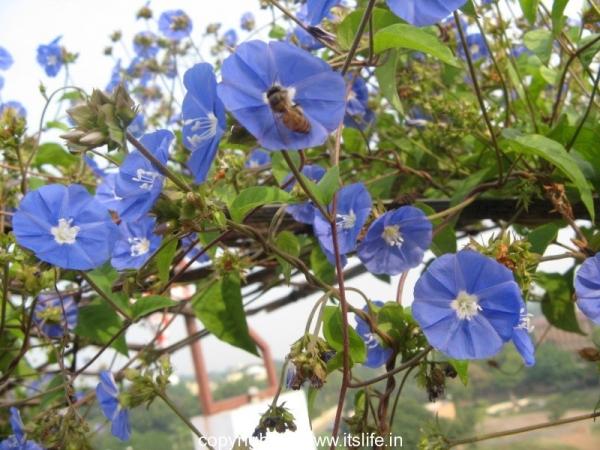 Blue Cluster Vine