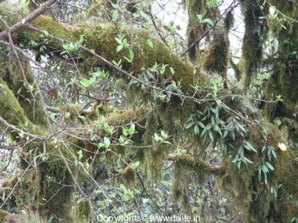 Aeschynanthus Perrottetti