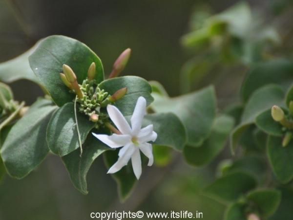 Jasminum malabaricum