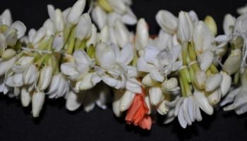 Jasminum auriculatum