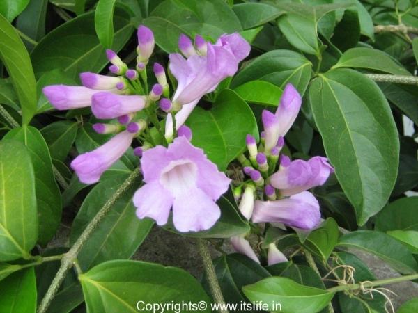 garlic vine flowers