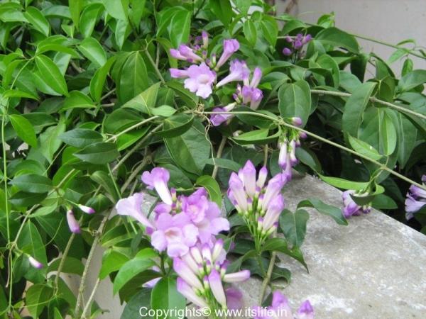 Garlic Creeper flowers