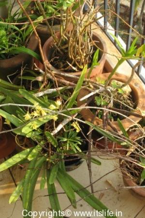 Dendrobium macrostachyum