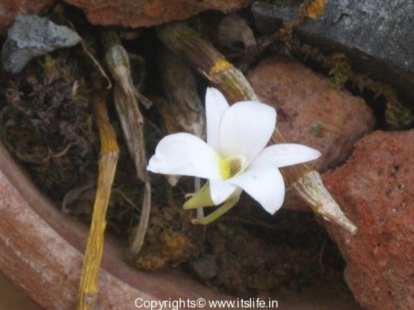 garden-orchid-green-lipped-dendrobium