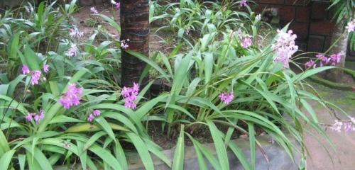 Orchid Spathoglottis Plicata - Terrestrial Orchid