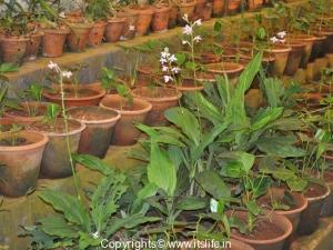 Orchid Calanthe Sylvatica