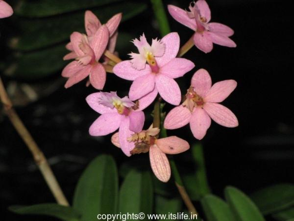 Orchid Epidendron Ibaguense - Cricifix Orchid