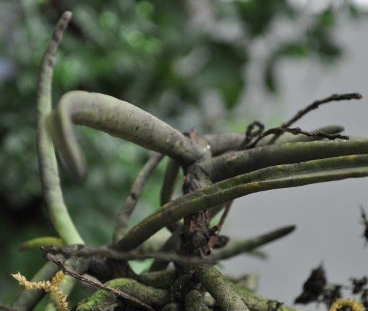 Orchid Diplocentrum Recurvum